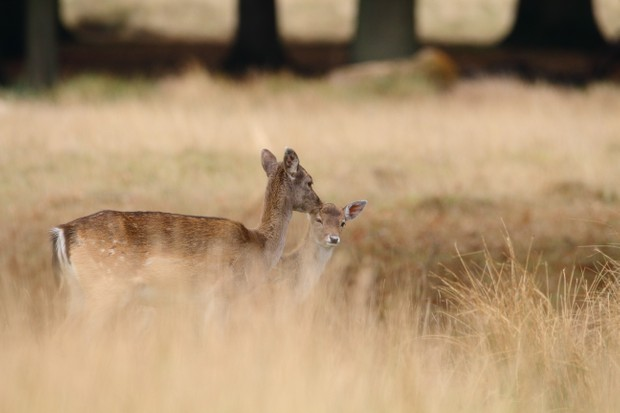 """""""During late October I was photographing Fallow Deer at Petworth Park. This particular mother and its fawn caught my attention, as she groomed her young, looking almost like a kiss of affection"""". © Sam Horne"""