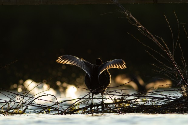 """""""While volunteering with the RSPB near Leeds I was incredibly lucky to be living close to a reserve where I could get down at water level; this generally makes for much more impactful images than shooting down from above. This image was very lucky - while my main subject was flapping another coot sped past behind, throwing up beautiful backlit water droplets"""". © Sean Irving"""