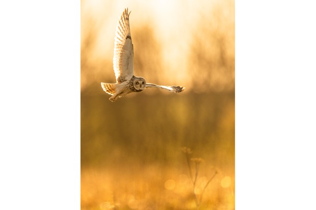 """""""A Short-eared Owl glides in during the last golden rays of sun, as it hunts for potential prey hiding amongst the grass below. I am very fortunate to be able to watch my local Short-eared Owls majestically soar over their Cotswold fields every Autumn. As they return to the shelter of the UK for the winter, on their migration from the continent"""". © Philip Edwards"""