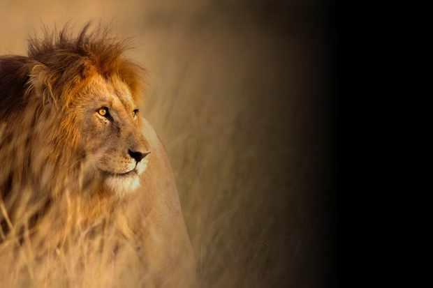 A Born Free lion