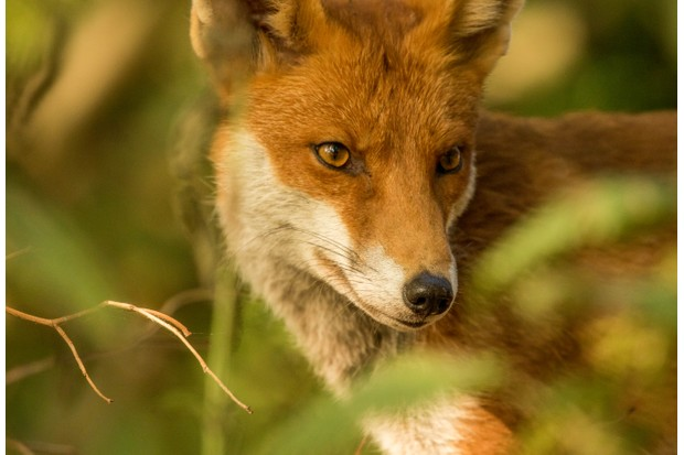 """""""This male fox was so unfazed by my presence that I began to wonder whether I'd turned invisible! I'd heard about urban foxes like these but this was my first experience with one face to face. It was a magical morning and I spent over an hour with him as he went about his daily activities"""". © Mairi Eyres."""
