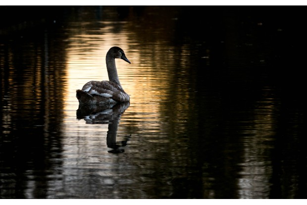 Some beautiful patches of evening light were hitting the river. I wanted to frame this swan within one of the patches, but catching the right moment was tricky. I had to continually adjust my position along the riverbank to maximise the time that the swan spent silhouetted by the light. © Mairi Eyres.