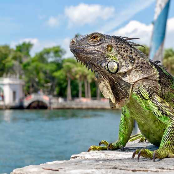 An iguana sits in front of a colonial building in Florida. © DesiDrew Photography/Getty
