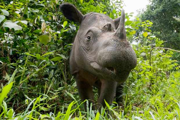 Way Kambas National Park, Lampung Province, southern Sumatra, Indonesia Critically endangered / threatened species - fewer than 200 left Captive - Sumatran Rhino Sanctuary within the park (Way Kambas National Park, Lampung Province, southern Sumatra,