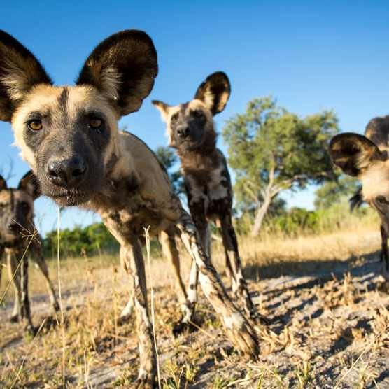 African wild dogs in Moremi Game Reserve in Botswana. © Paul Souders/Getty