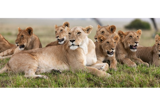 Lions live in large groups known as prides. Killing of adult members can disrupt group dynamics and hinder group survival. Anup Shah/Getty