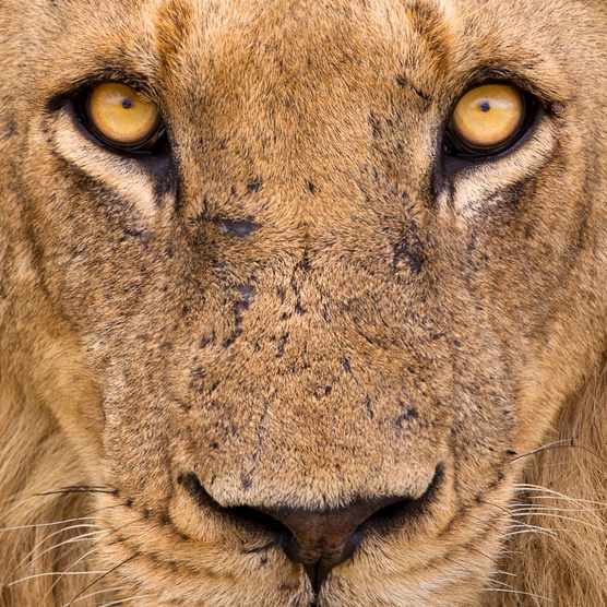 A close up portrait of a male Lion captured in Northern Kruger, South Africa.