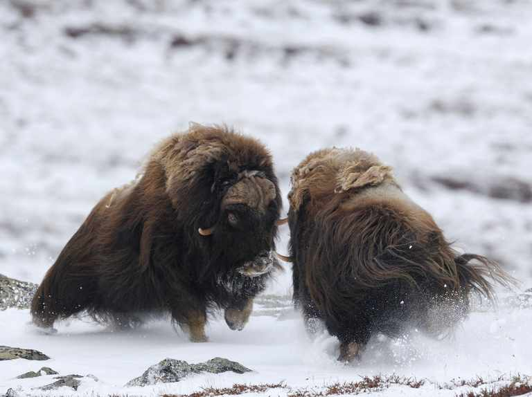 Everything you need to know about the musk ox - Discover Wildlife