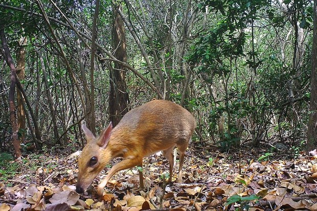 Silver-back chevrotain photographed by a camera trap. © Southern Institute of Ecology/Global Wildlife Conservation/Leibniz Institute for Zoo and Wildlife Research/NCNP