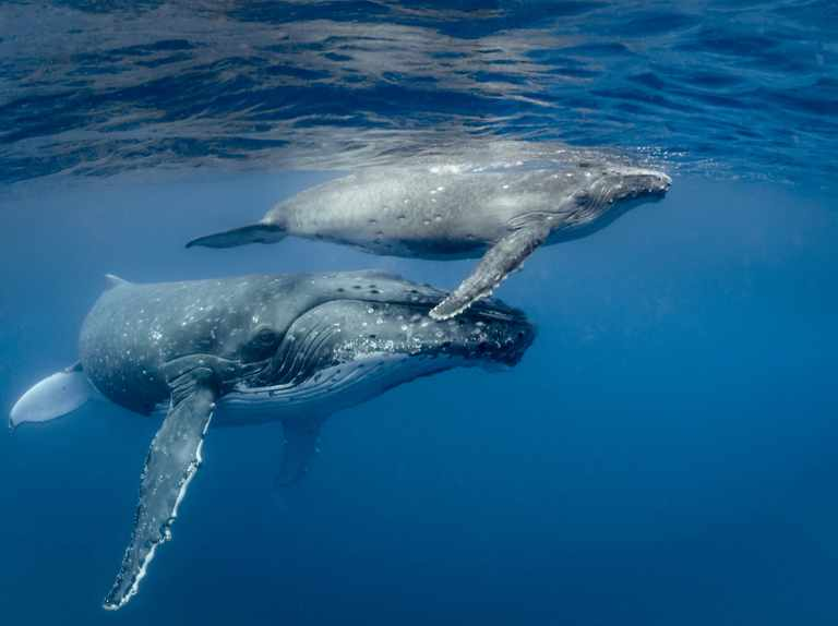 Comeback for humpback whales