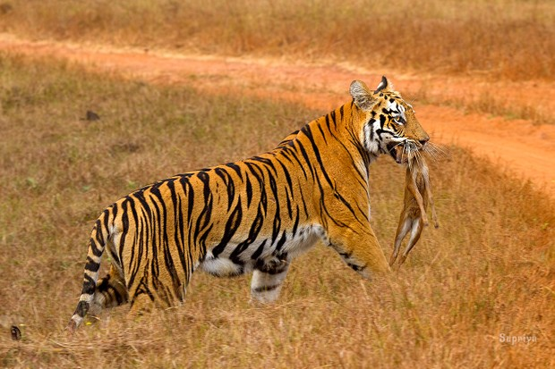 The tiger is 1 of 4 big cat species found in India, the others are: lion, leopard, and snow leopard. © Supriya Dam