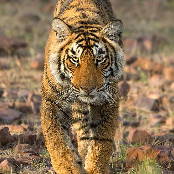 There are 6 subspecies of tiger; the Bengal tiger subspecies is found on the Indian subcontinent. © Supriya Dam