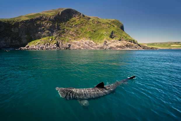 Family matters for basking sharks