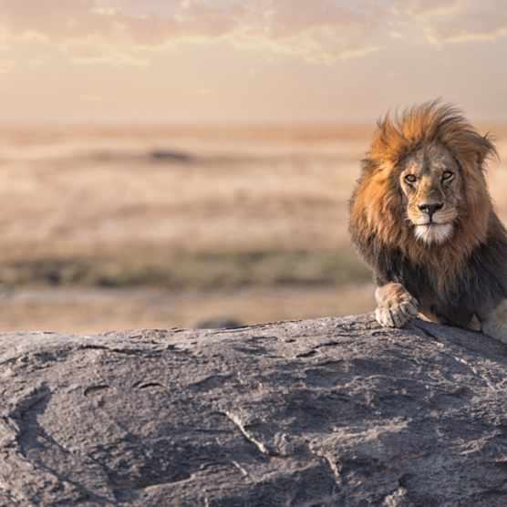 Lion Sitting On Rock During Sunset