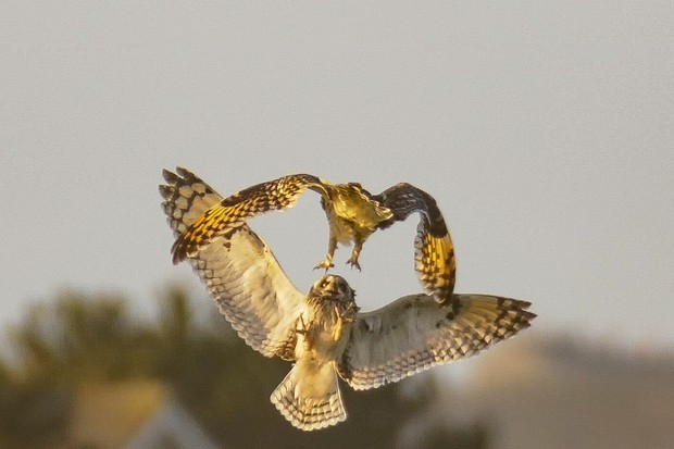 Short-eared owl captures prey