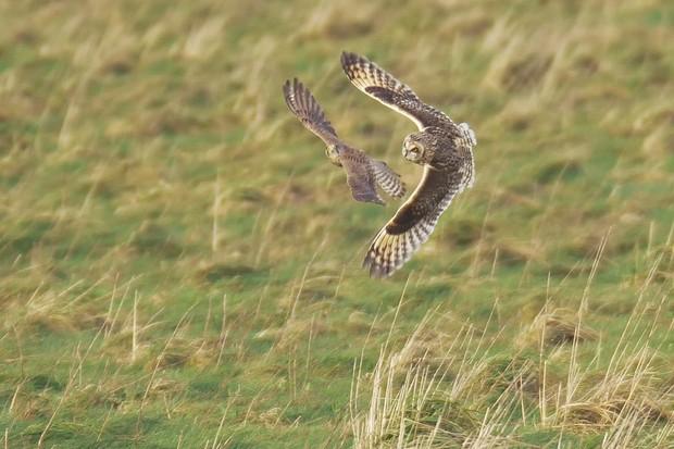 Owl hunting bird of prey