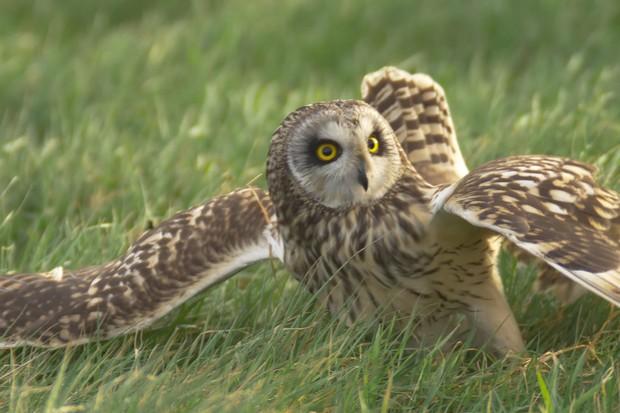 Short-eared owl landing