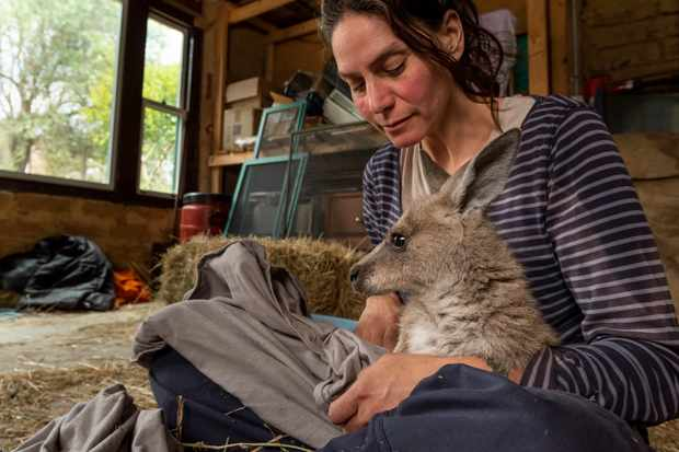 Rena Gaborov from Wallabia Wildlife Shelter with one of her young eastern grey kangaroo orphans sit in her mother's shed on her property Sarsfield. Rena and her partner Joseph had to evacuate their wildlife (wombats, kangaroos and possums) from their home and wildlife shelter in Goongerah, in Victoria, when bushfires threatened and then destroyed it in December 2019. They have now have now moved back home and started rebuilding their home and wildlife shelter. Photographed in January 2020. © Doug Gimesy