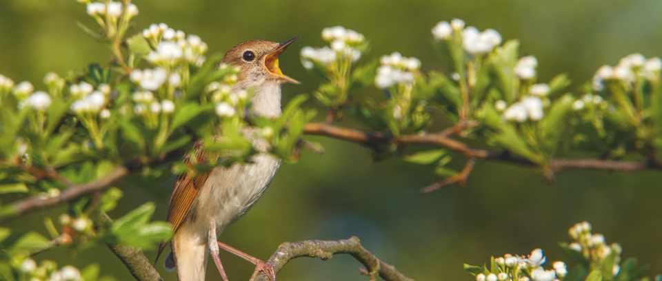 Singing nightingale. © David Chapman