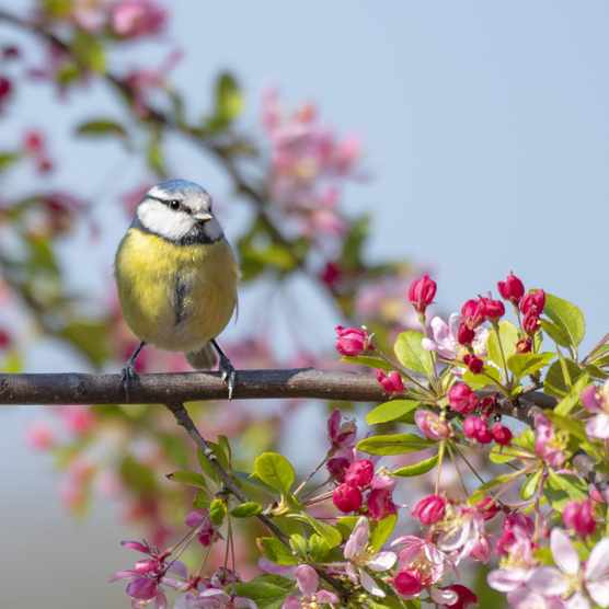 Blue tit perched on the branch of a spring flowering crab apple tree