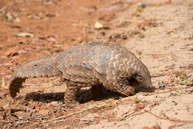 Pangolin scales can still be legally traded and used in China