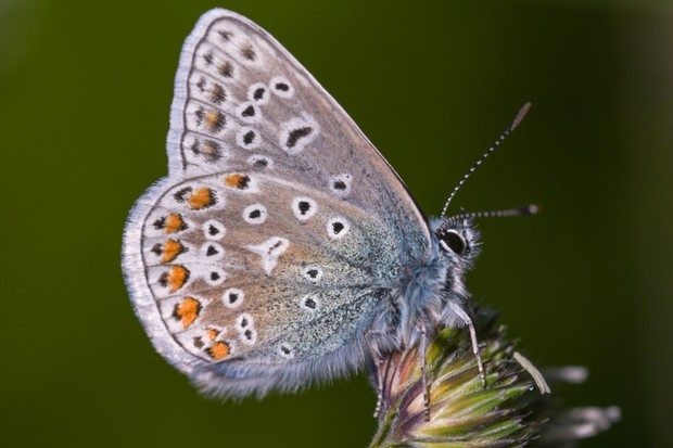 Common blue butterfly in Weymouth, Dorset, UK. © Verity Hill