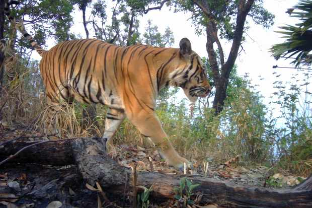 New tigers spotted in western Thailand for the first time in four years