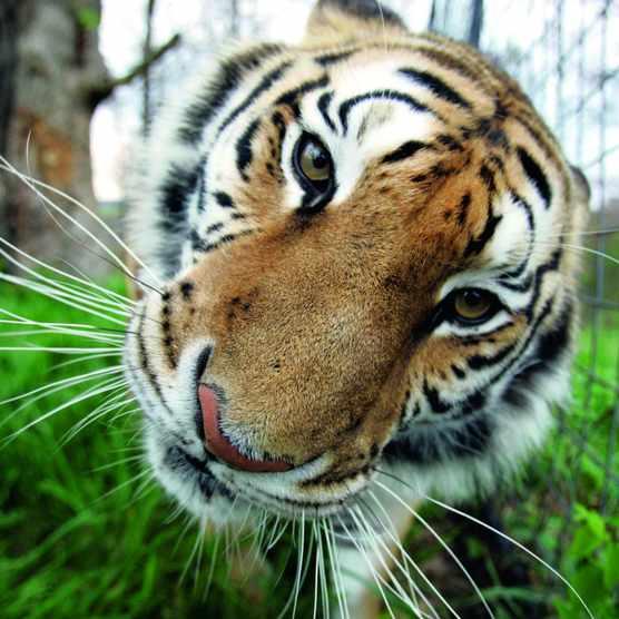 Tiger ©David Pulliam/Kansas City Star/Getty