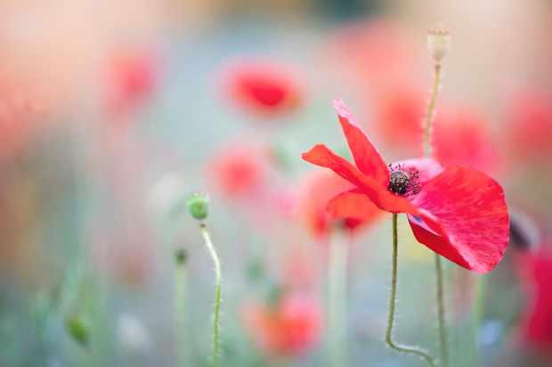 Common poppy. ? Jacky Parker Photographer/Getty