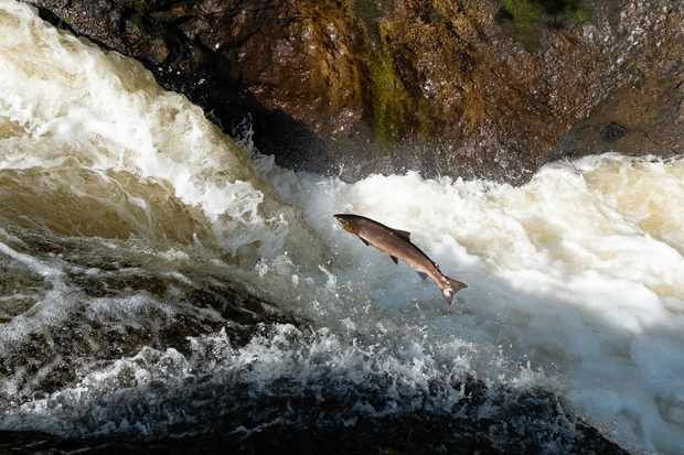 Salmon bred in captivity have fewer offspring in the wild
