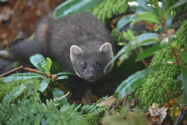 Changes to the natural landscape could put pine martens at threat, finds study