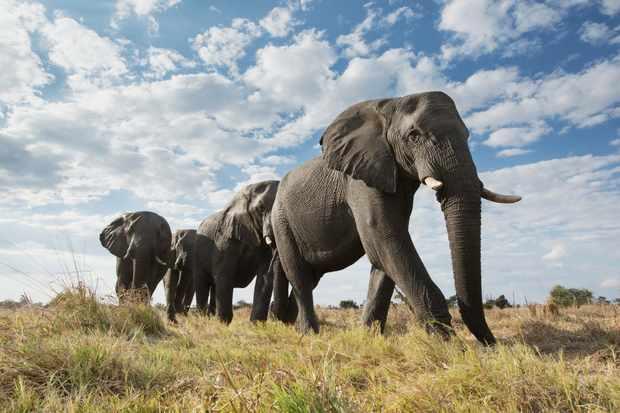 Elephants in Botswana. ? Getty