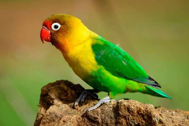 Fischer's Lovebird, Pavel Chonya, Lake Naivasha, Naivasha, Great Rift Valley, Kenya. ? Education Images/Universal Images Group/ Getty