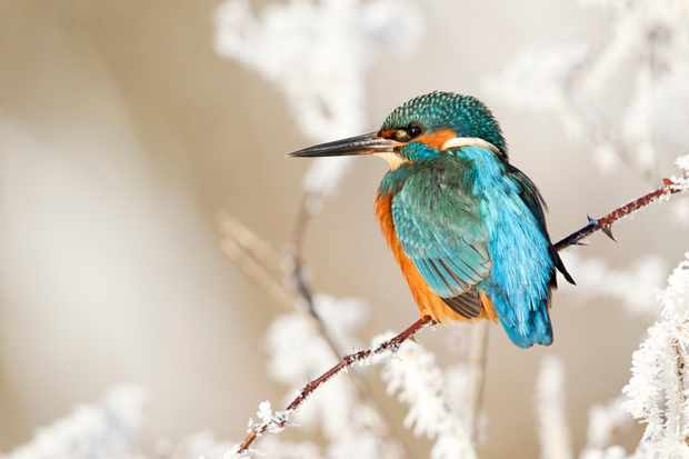 A kingfisher on a frosty perch in the Midlands, UK. © Mike Lane/Getty