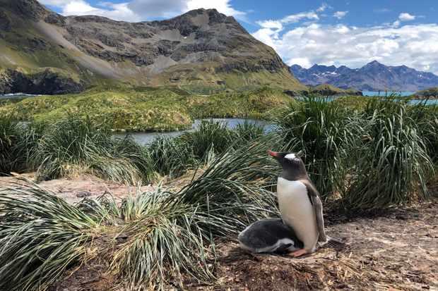 Gentoo penguins (P. poncetti). ? Gemma Clucas