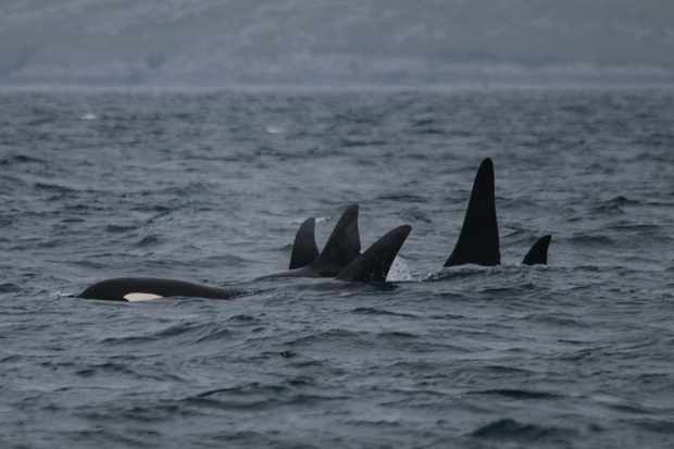 Mysterious orcas spotted in Norway reveal significant insight
