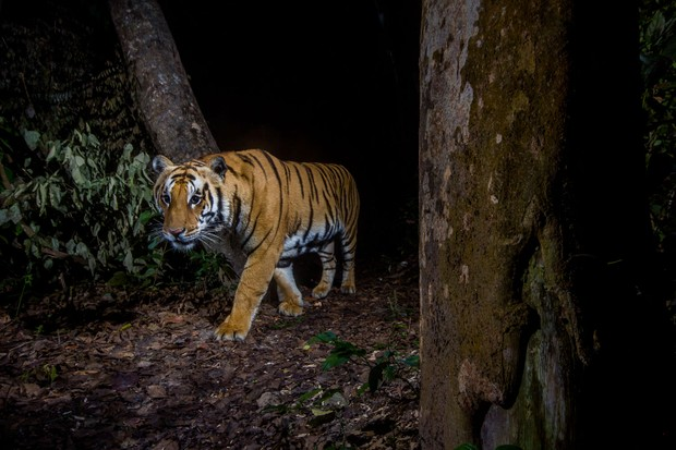 Bringing back the tiger: can we save the species from extinction?