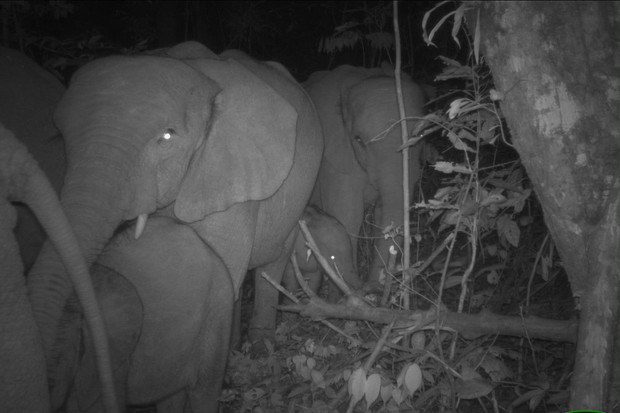 New family of Critically Endangered forest elephants spotted, including three babies