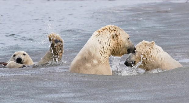 The Photo-Bombing Wave: polar bears, Alaska, USA. © Cheryl Strahl (USA).