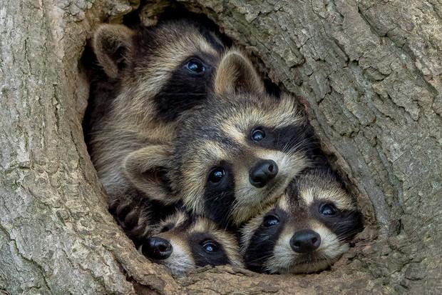 Quarantine Life: raccoon, Ontario, Canada. © Kevin Biskaborn (Canada).