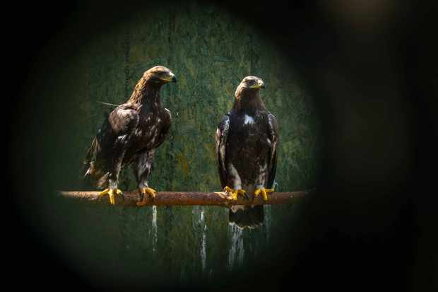 The Scottish town of Moffat celebrates the return of the golden eagle