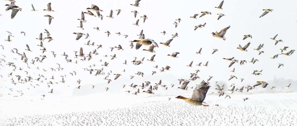 A very large flock of pink-footed geese against a white background of snow (photo taken in winter), with some very pale trees in the background. Much of the frame is taken up by birds in the air, some of which are relatively close to the camera. There are also many birds on the ground.