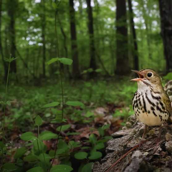 Category: Birds in the environment. Silver Award winner. CLAIMING THE FOREST FLOOR: Ovenbird. © Joshua Galicki (USA)/Bird Photographer of the Year