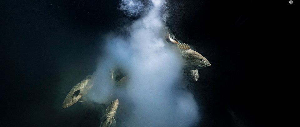 Against a dark background, a group of brown fish produce a white cloud.