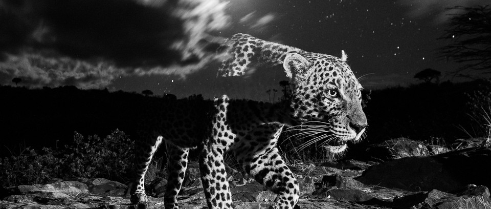 A long exposure camera trap photograph of a Leopard (Panthera pardus). The Camtraptions camera trap was set up to expose stars but the moon came up and resulted in this ghostly impression which captures the essence of these elusive cats.