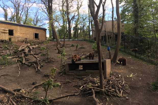 Bears at Bristol's Wild Place Project serenaded by the Sacconi Quartet