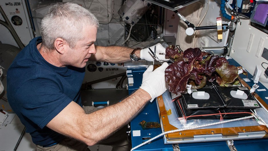 NASA astronaut Steve Swanson commanded Expedition 40 on the ISS. Here he is pictured harvesting a crop of red romaine lettuce plants grown as part of the Veg-01 experiment. Credit: NASA