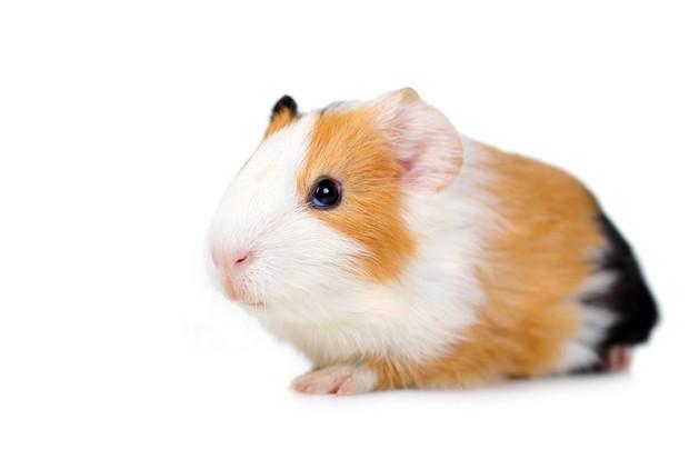 10-year-olds-guinea-pigs-spark-drug-raid_18601