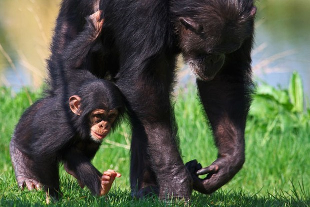 baby-chimps-better-behaved-than-human-babies_6783
