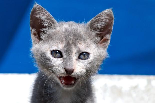 cats-imitate-babies-cries-to-get-food_5361